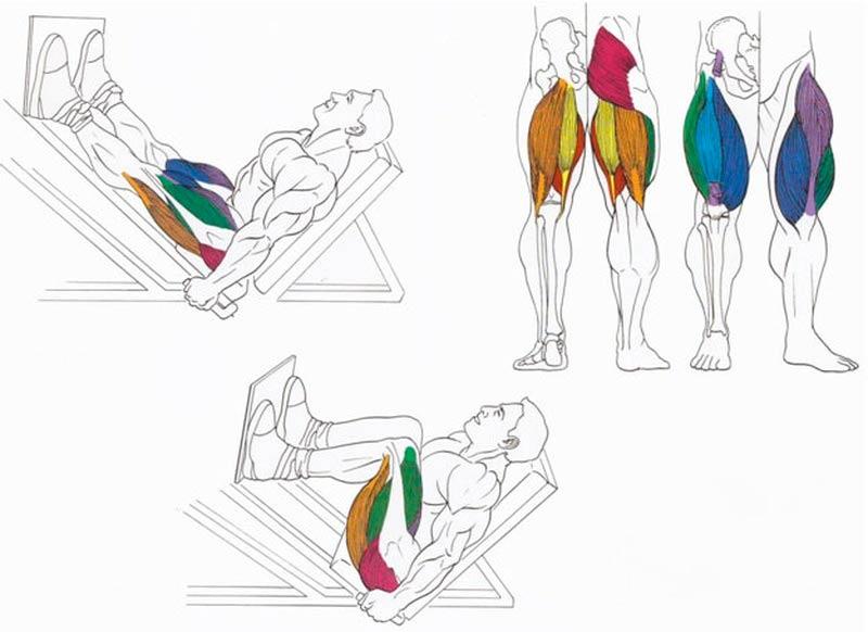 картинки с упражнениями для мышц ног что средние